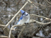 Blue-jay. Feeding On Perched On Branch in Morning Sun Royalty Free Stock Photo