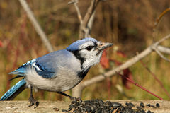Blue-jay. Feeding On Seeds In Morning Sun Royalty Free Stock Photo