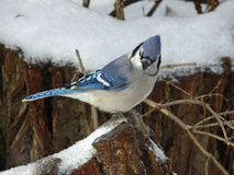 Blue-jay. Feeding On Perched On Branch in Morning Sun Stock Images