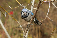 Blue-jay. Perched On Branch in Morning Sun Royalty Free Stock Photo