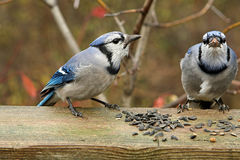 Blue-jay. Two In Morning Sun Feeding On Seeds Royalty Free Stock Image