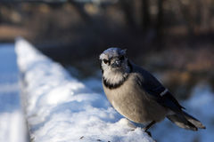 Blue-jay. Close-up In Snow In Morning Sun Royalty Free Stock Photos