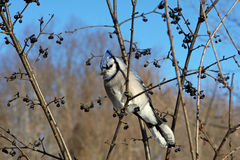 Blue-jay. Perched In Tree In Morning Sun Royalty Free Stock Photos