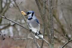 Blue-jay. Perched On Branch With Peanut In Beak Stock Image