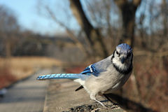 Blue-jay. On Rail In Afternoon Sun With Seeds Stock Photography