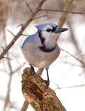 Blue Jay. Photograph of a winter time Blue Jay in a woodland garden Stock Photography