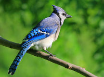 Blue jay. Perched in a walnut tree in Missouri Royalty Free Stock Photos