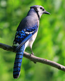 Blue jay. Perched on a limb Royalty Free Stock Photo