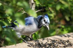 Blue-jay Royalty Free Stock Images