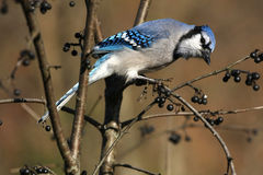 Blue-jay Stock Photo