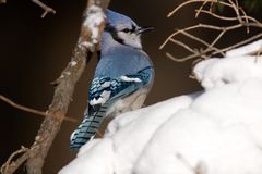 Blue Jay. Perched in a fresh snowfall - Cyanocitta cristata Royalty Free Stock Images