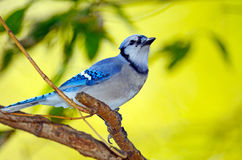 Blue Jay. Standing on tree branch Stock Photo