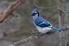 Blue Jay Royalty Free Stock Photos