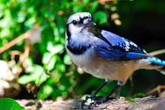 Blue Jay. Feeding Of The Ground Royalty Free Stock Photography