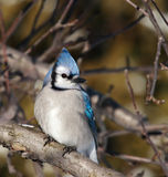 Blue Jay. In a forest in Quebec, Canada Stock Photography