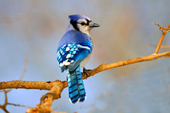 Blue Jay. Perched On A Branch Royalty Free Stock Image