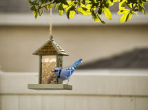 Blue jay. At a bird feeder Royalty Free Stock Photo