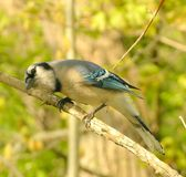 Blue Jay 2. Blue Jay perched on a tree branch Royalty Free Stock Image