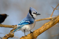 Blue Jay. Perched On A Branch Royalty Free Stock Photos