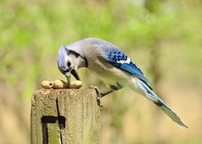 Blue Jay Stock Images