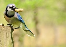 Blue Jay. Perched on a post eating peanuts Royalty Free Stock Image