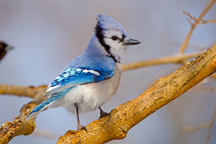 Blue Jay. Perched On A Branch Royalty Free Stock Photo