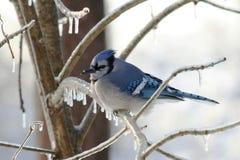 Blue Jay Stock Photography