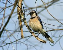 Blue Jay. Sitting on a limb Royalty Free Stock Photo