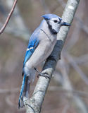 Blue Jay. Photograph of a beautiful Blue Jay perched on a branch as it observes a feeding station in a midwestern garden Stock Image