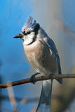 Blue Jay. Perched On A Branch Stock Images