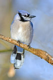 Blue Jay. Perched On A Branch Royalty Free Stock Photography