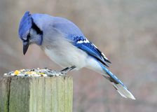 Blue Jay. Perched on a post eating peanuts Royalty Free Stock Images