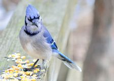 Blue Jay. Perched on a post eating peanuts Stock Photo