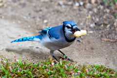 Blue Jay. With peanut in mouth Royalty Free Stock Images