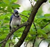 Blue Jay (4) Royalty Free Stock Photography