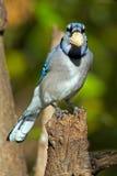 Blue Jay Stockfotografie