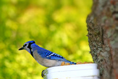 Blue Jay Stockbilder