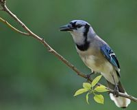 Blue Jay. The blue jay can be found in southern Canada and in the United States, east of the Rock Mountains. The blue jay is migratory and northern populations Royalty Free Stock Image