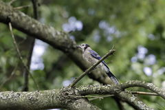 Blue Jay Stockfotografie