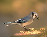 Blue Jay. Eating a peanut stock images