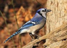 Blue Jay Stockbild