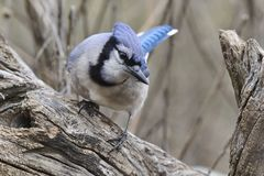 Blue Jay 6c Royalty Free Stock Photo