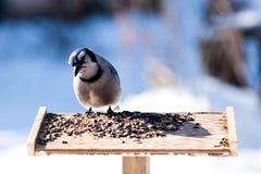 Blue Jay Stockfotos