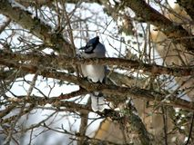 Blue Jay Royalty Free Stock Photos