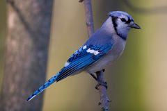 Blue Jay. Perched on a branch - Cyanocitta cristata Stock Image