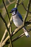 Blue Jay. Perched on a branch - Cyanocitta cristata royalty free stock photos