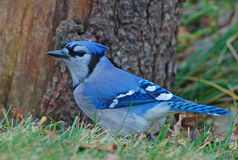 Blue Jay. Photograph of a Blue Jay feeding at the base of a stump stock photos
