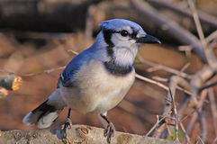 Blue Jay. Photograph of a Blue Jay perched on a branch coming in to a garden feeder stock photos