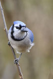 Blue Jay 8c. Blue Jay in natural setting Stock Photos