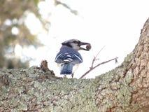 Blue Jay lizenzfreie stockfotografie
